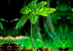 Young sapling